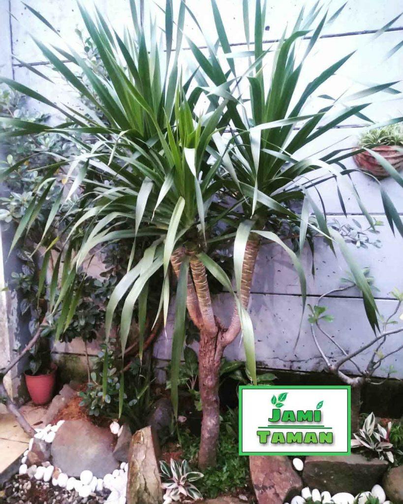 Jual Pohon Pandan Bali Bercabang